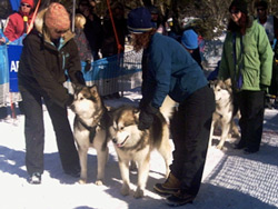 Sled Dog Races - Getting Ready to Start